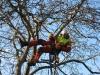 Baumpflege unter Einsatz der Seilklettertechnik